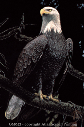 In All Her Glory - Bald Eagle 2