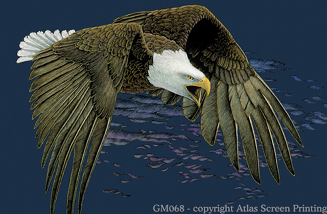 Bald Eagle in Flight 2