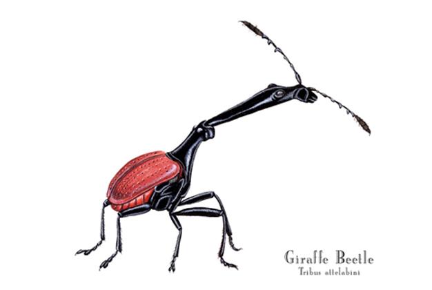 Giraffe Beetle