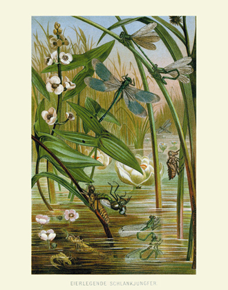 DITS Eierlegende Damselflies Reproduction Print