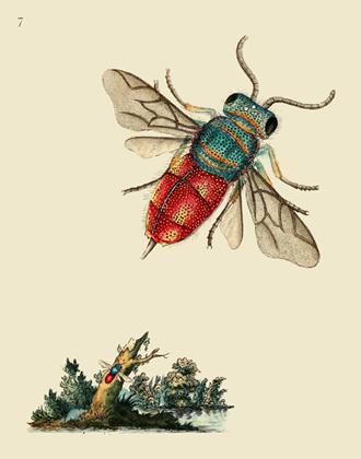 NHBI Vol 1 PL 7 Common Golden Wasp Reproduction Print