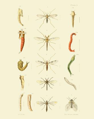 EMNZE PL IV Diptera Reproduction Print