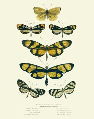 Curiosities - SA Butterflies Reproduction Print
