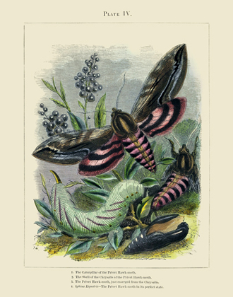 The Vivariam PL IV Hawk Moth Reproduction Print