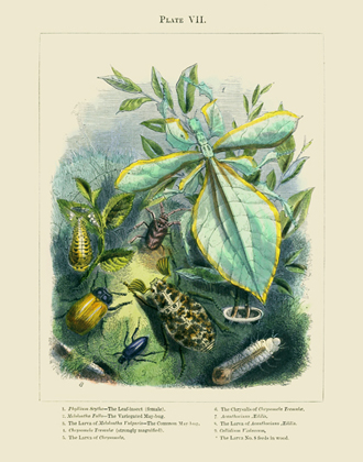 The Vivariam PL VII Leaf-Insect Reproduction Print