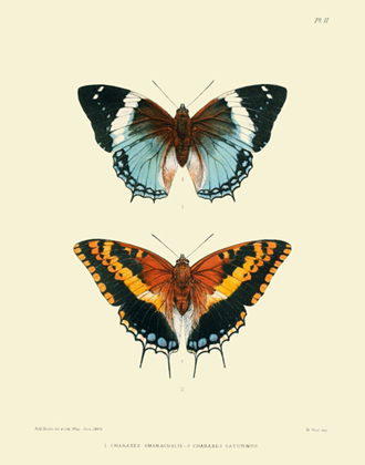 Lepidoptera Exotica PL II Charaxes Reproduction Print