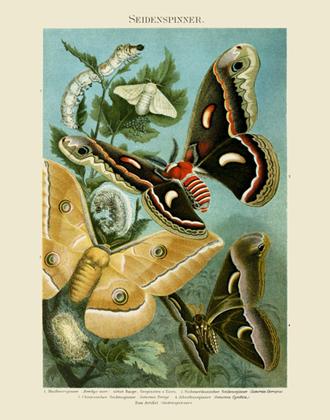 MKL Seidenspinner Moths Reproduction Print