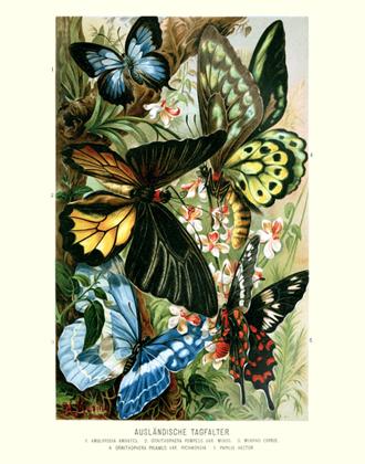Brehms Tierleben Tropical Butterfies Reproduction Print