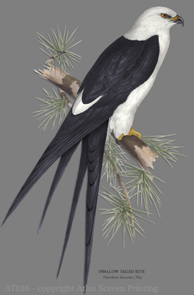 "Swallow Tailed Kite 2"" X 3"" Magnet"