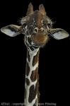 """Giraffe 2"""" X 3"""" Magnet"""