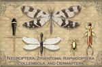 Vintage Neuroptera 2