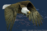 "Bald Eagle in Flight 2"" X 3"" Magnet"