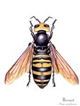 Hornet Matted Print