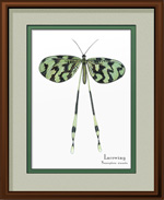 Lacewing Framed Print