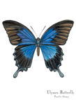 Ulysses Butterfly Matted Print