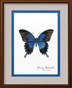 Ulysses Butterfly Framed Print