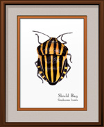 Shield Bug Framed Print