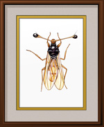 Stalk-Eyed Fly Framed Print