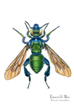 Emerald Bee Matted Print