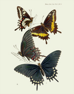 TESL VOL V PL 3 Swallowtail BF Reproduction Print