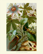 DITS Auslandische Cicada Reproduction Print