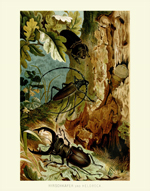 DITS Hirschkafer Stag Beetle Reproduction Print