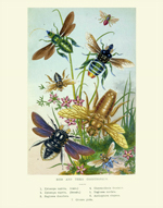 Curiosities Bees & Their Counterfeits Reproduction Print