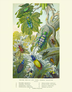 Curiosities - British Beetles & Relaltives Print
