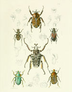 TOI PL 1 Scarb Beetles Reproduction Print