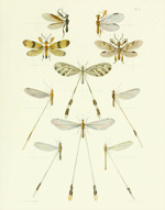 TOI PL 33 Wood Wasps Reproduction Print