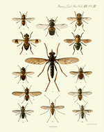 TZSL Vol XIX PL III Diptera Reproduction Print