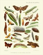 TZSL Vol XVII PL VII Lepidoptera Print