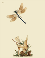 NHBI Vol 1 PL 36 Damselflies Reproduction Print