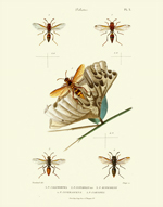 MGS PL X Polistes Reproduction Print