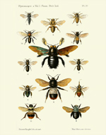 FBI Hymenoptera Vol 1 PL IV Reproduction Print