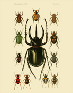 FBI Coleoptera Lamellicornia PL 1 Reproduction Print