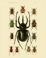 FOI Coleoptera Lamellicornia PL 1 Reproduction Print
