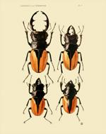 FBI Coleoptera Lamellicornia PL II Reproduction Print