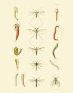 EMNZE PL IV Diptera Reproduction Print