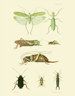EMNZE PL XVII Orthoptera Reproduction Print