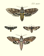 Drury's Tab: XXV Hawk Moths Reproduction Print