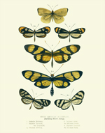 Curiosities - SA Butterflies Reproduction Print
