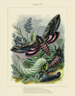 The Vivariam PL IV Hawk Moth Reproduction Print