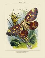 The Vivariam PL VIII Phalana Regia  Reproduction Print
