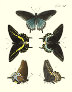 Drury's Tab: XI Swallowtails Reproduction Print