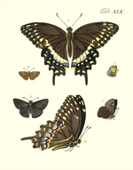 Drury's Tab: XIX Butterflies Reproduction Print