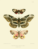 Lepidoptera Exotica PL XXX Rosina Reproduction Print