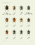 AKAW Taf I Beetles Reproduction Print