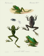 BCA Batrachia Tab 71 Mexican Tree Frogs Reproduction Print