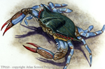 "Blue Crab 2"" X 3"" Magnet"